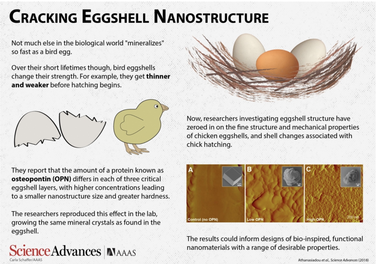 Cracking Eggshell Nanostructure Anatomy And Cell Biology Mcgill