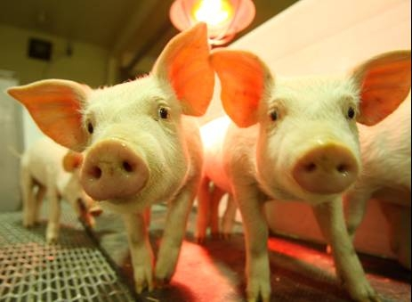Cloned pigs at McGill's Department of Animal Science