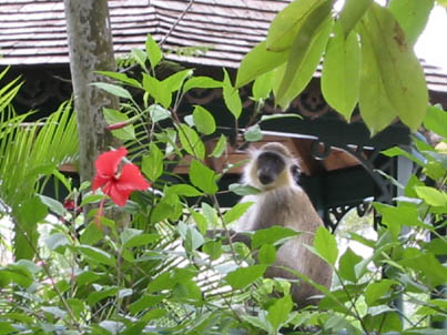 The vervet (or green) monkey: a frequent visitor to Bellairs.
