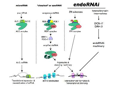 The multiple RNAi regulatory pathways, or many ways to silence from within