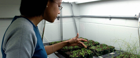 Undergrad student tending to boxes of plants in a lab