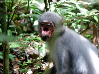 Wild African Monkeys Are Infected With The Bacterium Causing Yaws In Humans Channels Mcgill University
