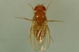 Adult female fruit fly, Drosophila melanogaster