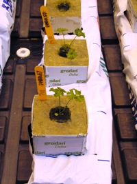 Parsley grown hydroponically in the Greenhouses