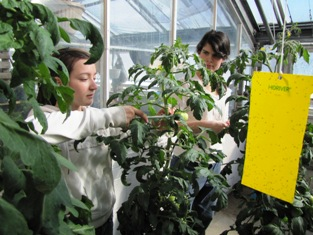 Greenhouse class students add tutors to their tomato plants