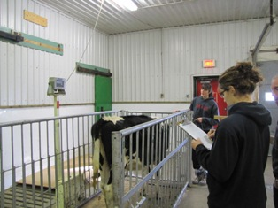 Justine and Stephanie are weighing their heifer