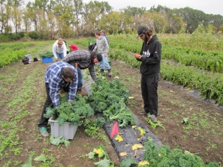 Second year students harvest kale and cilanto