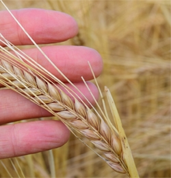 fingers holding a strand of wheat
