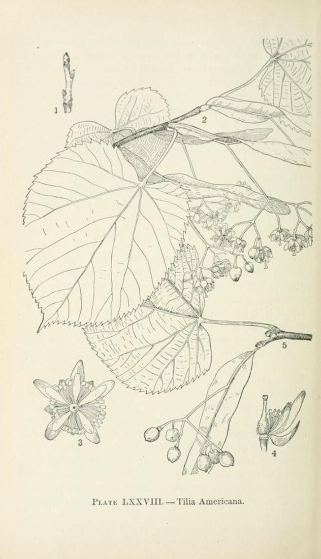 Tilia americana American linden Tilleul d/'Amérique – 10 seeds – basswood
