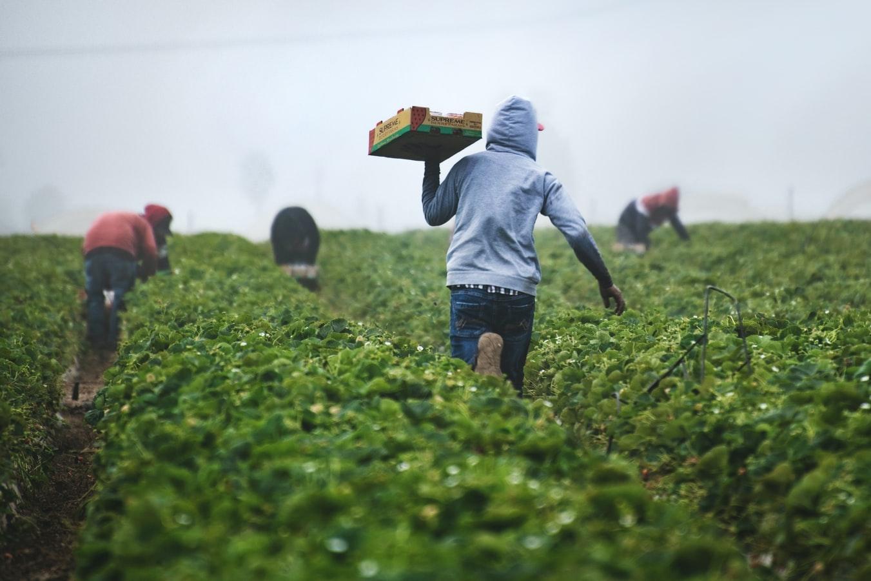 Migrant workers picking strawberries in Nipomo, CA, USA. Photo by Tim Mossholder, via Unsplash. https://unsplash.com/photos/xDwEa2kaeJA