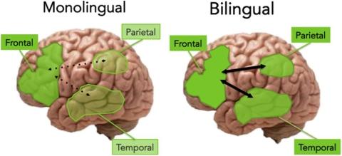 Bilingual Cognitive Advantage
