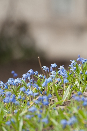 Image of Siberian squill growing on faculty grounds