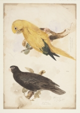[Two parrorts] by Lear, Edward (1812-1888)