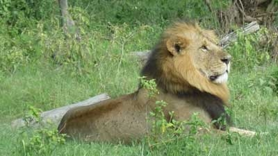 Photo of a lion