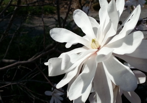 White magnolia flower against a darkened background.