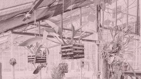 Hanging plants in greenhouse.