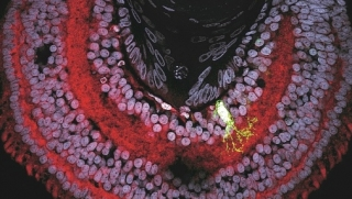Tadpole eye stained to reveal cannabinoid receptors (red). A single fluorescently labeled cell (green) is shown at greater magnification to the right (courtesy Dr. Loïs Miraucourt)