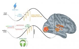 Les signaux MEG ont révélé que cette habileté cérébrale particulère était mise en oeuvre par l'interaction entre ondes cérébrales lentes et rapides dans les régions auditives et visuelles du cerveau.