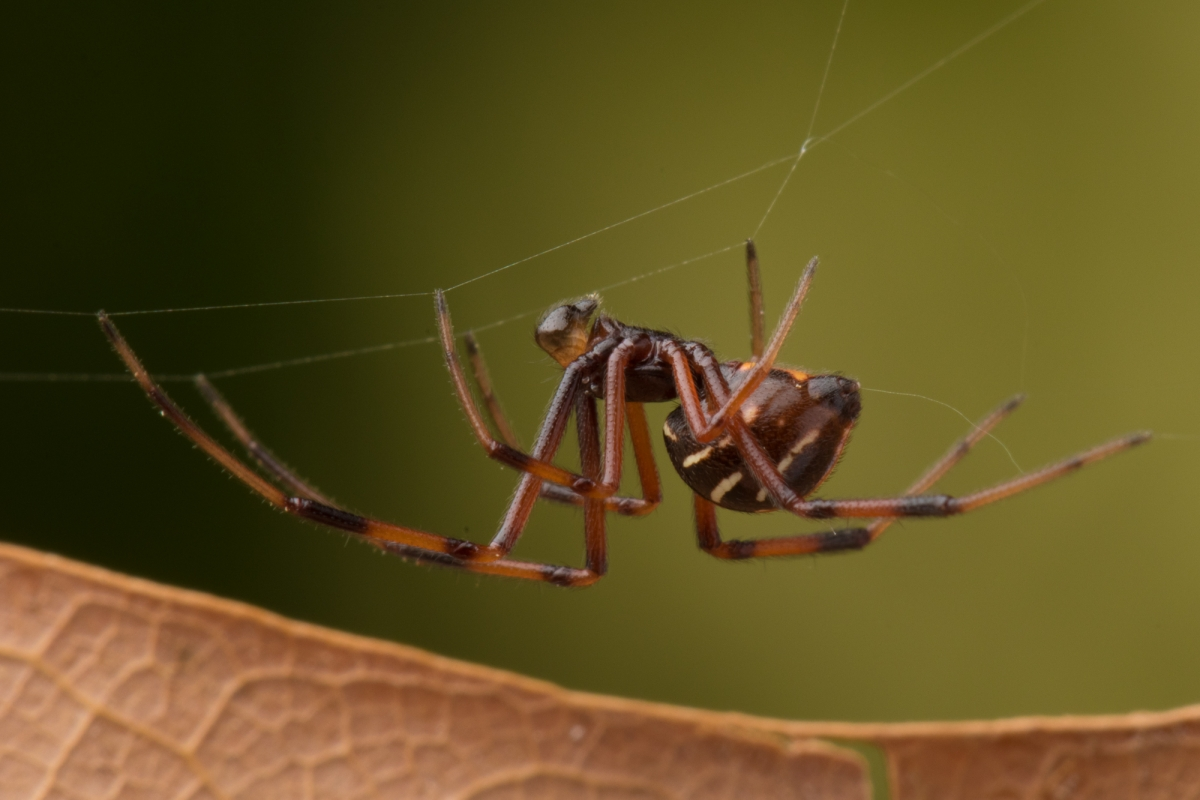 northern widow spider