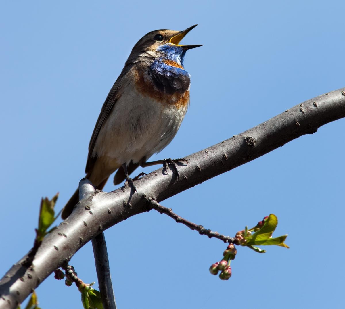 Quel oiseau chanteur - Dessin oiseau qui chante ...