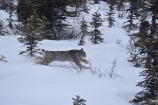 Canada lynx running. Credit: Allyson Menzies / Lynx du Canada en pleine course. Photo : Allyson Menzies