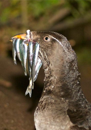 A rhinoceros auklet with a mouthful of fish, returning at night to feed its offspring in a burrow. Seabirds, including auklets, were monitored over nearly 50 years to provide information on levels of mercury in ecosystems of the Pacific Ocean.