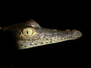 Crocodile from a population living on the coast of Panama.