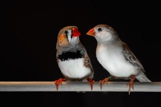 Adult male zebra finches (left) learn their songs and use them during courtship interactions with females (right). Photo credit: Raina Fan. / Le diamant mandarin mâle (à gauche) apprend des chants qu'il utilise pour courtiser la femelle (à droite). Photo : Raina Fan