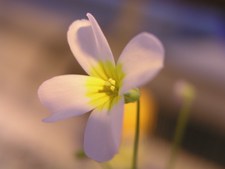 The flower of Leavenworthia alabamica.