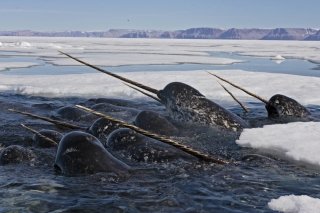 Narwhals with their characteristic spiralled tusks in dense pack ice. | Des narvals et leur défense torsadée caractéristique dans des eaux glacées.