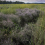 A patch of sea lavender in a Chaleur Bay marsh. Photo credit: O. Lucanus