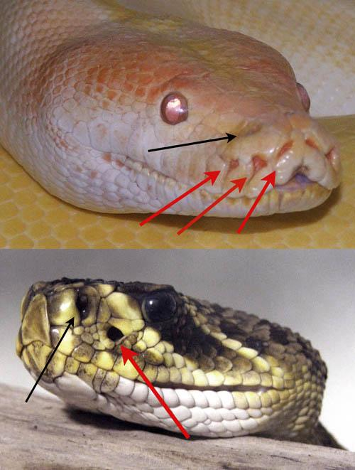 Fake Snake News: How Not to Identify a Poisonous Snake