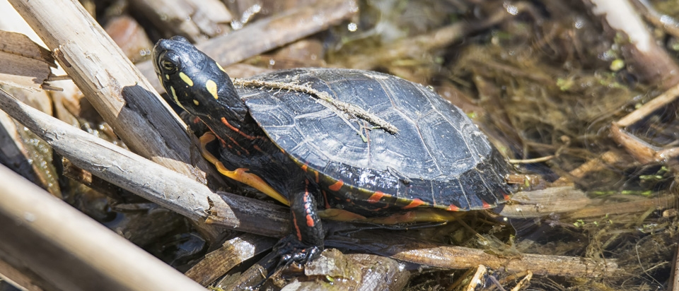 Turtles Breathe Out of Their Butt   Office for Science and Society