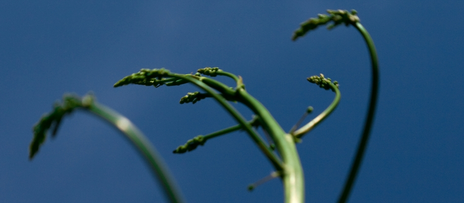 Can asparagus be a treatment for cancer? | Office for Science and