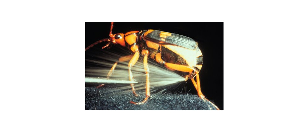 The Bombardier Beetle and its'