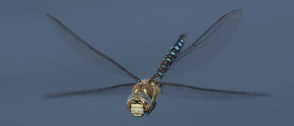 Dragonflies Experience as Much G-Force as Fighter Pilots