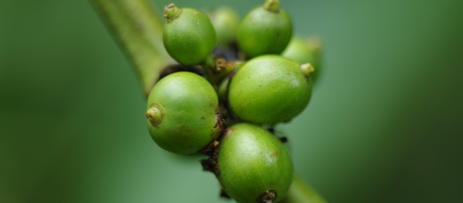 Green coffee beans give science a black eye | Office for ...