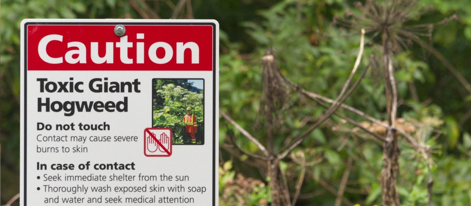 Phytophotodermatitis and the Giant Hogweed | Office for Science ...