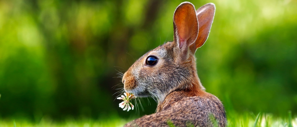 Rabbits Have Hinged Skulls And Three Eyelids Office For Science