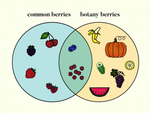 a venn diagram of common berries vs botany defined berries
