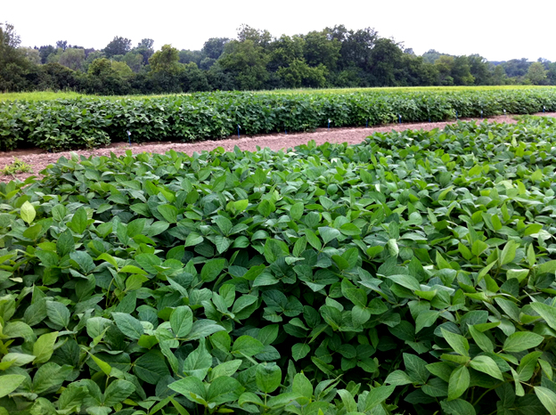 Evaluation of soybean cultivars for their concentration of health-beneficial compounds in Sainte-Anne-de-Bellevue, QC (Photo: P. Seguin, McGill University).