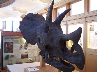 Sara the Triceratops: skull