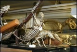 Some of the vertebrate skeletons in the collection