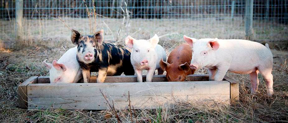 Five pigs on a farm standing around a wood container full of water