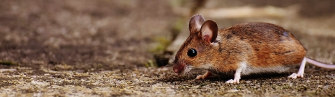 A brown mouse walking on the ground