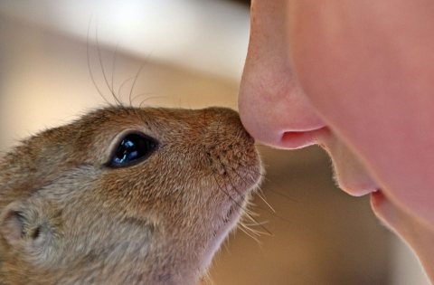 A woman nose-to-nose with an African squirrel, in an affectionate way.