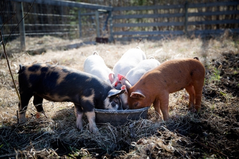 Five piglets on a farm eating out of one bowl.