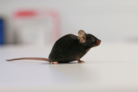 A brown mouse walking on a white table