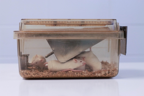 white rats in a container