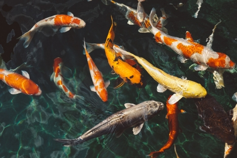 A group of Koi fish in water